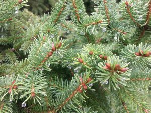 Pine Needles Pearls